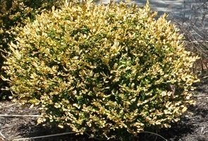 pic of boxwood